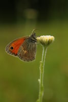 Пеперуда; comments:2