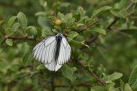 Пеперуда; comments:1