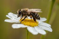перфектното Насекомо-Пчела; comments:6