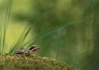 Горска дългокрака жаба (Rana dalmatina); comments:31