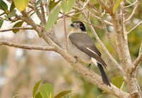 Grey Butcherbird (Cracticus torquatus); comments:4