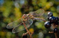 Dragonfly (Sympetrum flaveolum) Коментари: 12 Гласували: 26