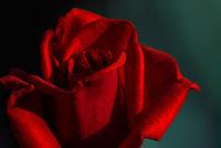 Червена роза; comments:3
