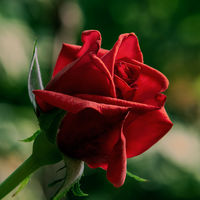 Роза; comments:2