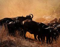 Кафърски бивол; comments:27
