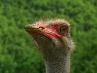 the ostrich (remake); comments:4