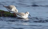 Трипръсти брегобегачи / Calidris alba; comments:5