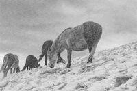 Зимни коне; comments:4