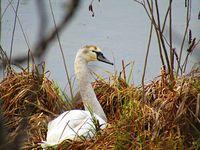Лебедът в реката; comments:6