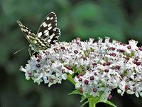 Планинската пеперуда; comments:11
