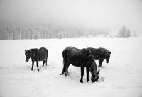 Зимни коне; comments:35