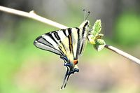 Пеперуда на лешник; comments:6
