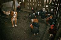 Живот с кокошки; comments:2