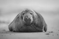 Сив тюлен (Halichoerus grypus); Коментари:3