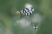 Лентокрилка (Nemoptera sinuata); Коментари:10
