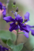 Клематис (Clematis); comments:23