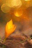 златист раннопролетен минзухар; comments:8