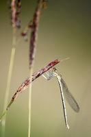 Водно конче (Platycnemis pennipes); comments:11