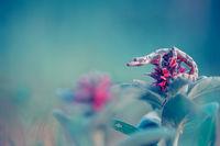 Балкански гекон (Cyrtopodion kotschyi); comments:36