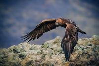 Скален орел; comments:30