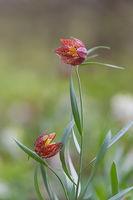 Източна ведрица /Fritillaria orientalis/; comments:11