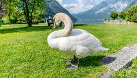 Лебедът, който знаеше как да се снима !; comments:1