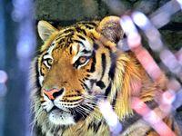Тигърът; comments:2