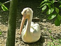 Пеликан; comments:1