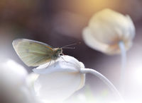 Butterfly and Anemone..; comments:16