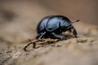 .dung beetle out and about.; comments:6