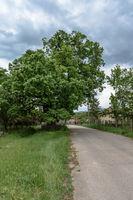 Вековното дърво в с.Върбовчец; comments:1