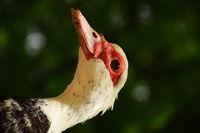 Пилешко боке; comments:1