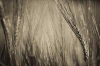 Реколта от зърнени култури.; comments:4