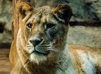 Лъв в Софийския зоопарк; No comments
