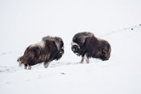 Musk Ox Fight; comments:40