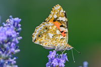 Пеперуда; No comments