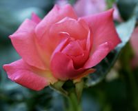 Pink Rose; comments:5