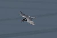 Речна чайка; comments:5