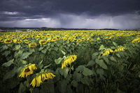 Yellow Storm; comments:7