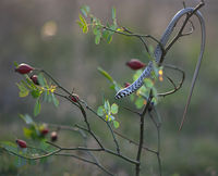 Млад жълтокоремник (Pseudopus apodus); comments:47