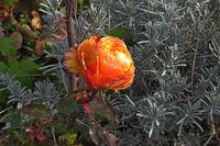 Януарска роза; comments:9