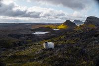 Овца на остров Скай; comments:3