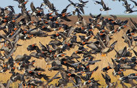 червеногуши гъски от Дуранкулак; comments:7