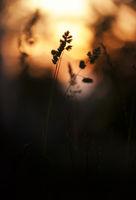Да погледаш тревите по залез...; comments:6