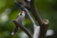 Red whiskered bulbul; comments:11