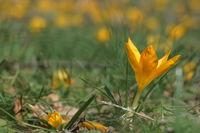 Предвестник на пролетта; comments:5