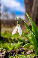 Предвестник на пролетта; comments:6