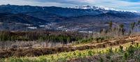 Млади иглолистни дръвчета над град Габрово; comments:4