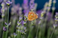 Пеперуда на лавандула; comments:5