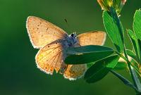 Polyommatus icarus; comments:8